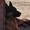Щенки Немецкой овчарки в г.Луцке - Изображение #6, Объявление #315579