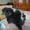 Пекинес  щенок чп #934371