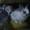 Кролики баранчики и прямоухие #934375