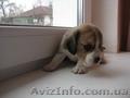 щенки бигль,  с  родословной КСУ-