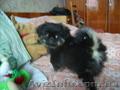 Пекинес  щенок чп