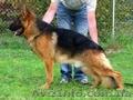 Питомник немецкой овчарки «ABIDOS» продает щенков