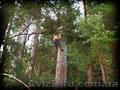 Спилюю  аварійні дерева